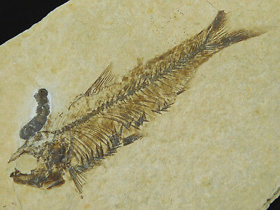 Super FINE Bones! on This 50 Million Year Old Fossil Fish From Wyoming 201gr