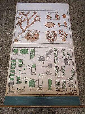 Vintage Nystrom Canvas Industrial Algae School Pull Down Map Science Chart