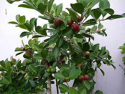 1  Strawberry GUAVA FRUIT ~ Small & Round with Red Skin ~1 year old