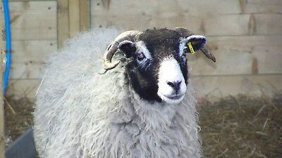 Sheep Fleece  Swaledale