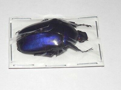 35Mm Torynorrhina Flammea Flammea Violet Real Insect Indonesia Taxidermy