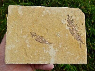 Fossil Fish: Knightia eocaena - Stunning Green River Double Display Specimen.
