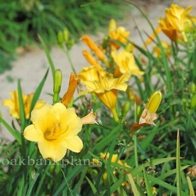 DAYLILY STELLA BELLA dwarf long flowering daylily
