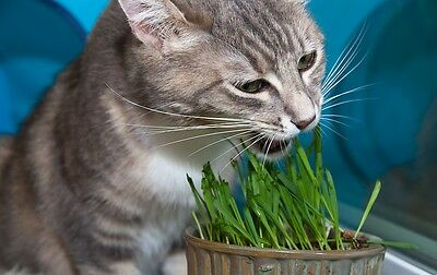 Organic CAT GRASS.SEEDS to grow for chickens quail.budgies/dog rabbit🐶🐱🐭100g.