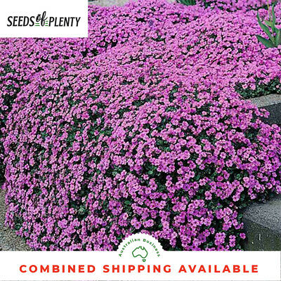 ALYSSUM  - Royal Carpet (2000 Seeds) BORDERS Containers LONG BLOOMS Fragrant