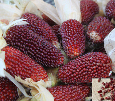 HEIRLOOM - 55 SEEDS - RED STRAWBERRY CORN - Popping - Zea Japonica #685