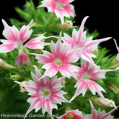 PHLOX ~*TWINKLE*~Dwarf MIXED COLORS ANNUAL SEEDS