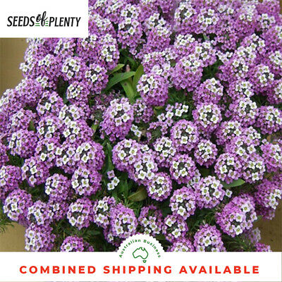 ALYSSUM  - Dwarf Pink (4000 Seeds) SWEET SMELL Self Seeder COTTAGE GARDEN