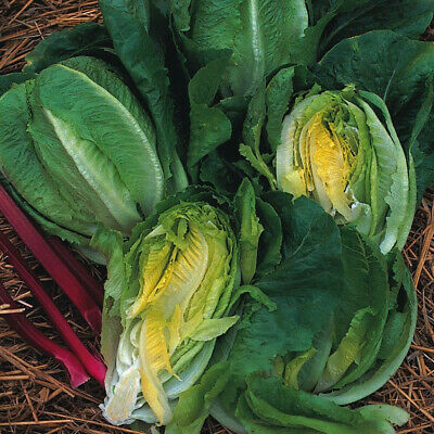 SWISS CHARD RHUBARB RED Beta Vulg. - 350 SEEDS 5g/0,17oz vegetable beetroot #702