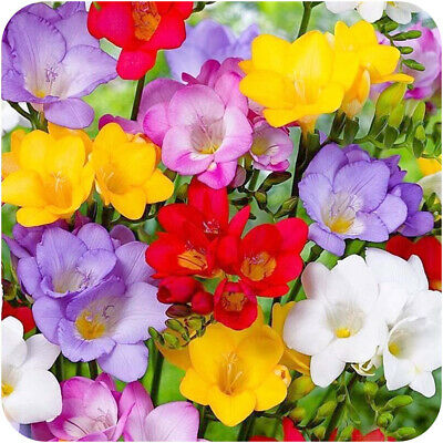 Freesia Bulbs100 Prepared Single Scented mixed spring Flowering size 6/7