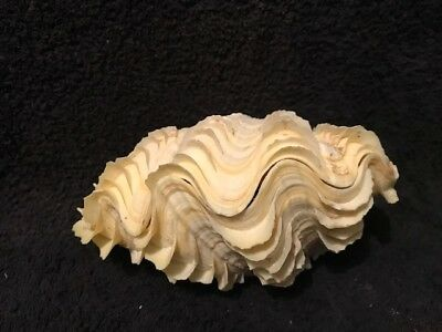 Fluted Clam Good Quality