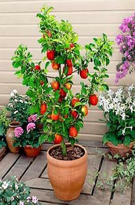 ALL 3 fruit TREES-Plum tree,Apple tree & Pear~stay small if potted-heavy crops