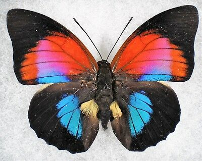 Insect/Butterfly/ Agrias claudina lugens Female X Prepona omphale Male