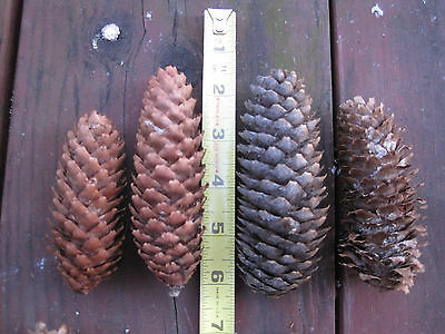 """50 Fresh Spruce Pine Cones, Crafts, Decorations, Fire Starter, Large, 3-5"""""""