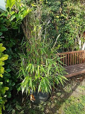 bamboo plant large clump