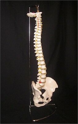 Life Size Flexible Anatomical Human Spine Model with Stand