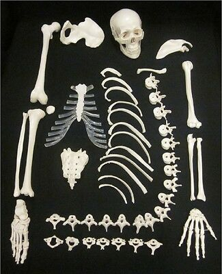 LifeSize Half 1/2 Disarticulated Human Anatomical Skeleton Anatomy Model w/Skull