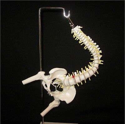 Half Life Size Flexible Anatomical Human Vertebral Spine Anatomy Model + Stand