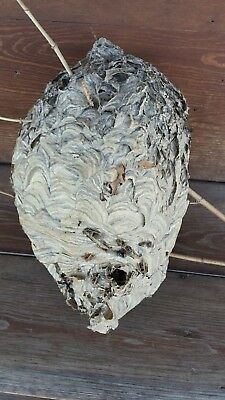 """Real Hornet Nest 16"""" paper nest bee hive wasps nest , w/ old hornets"""