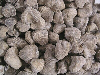 Brachiopods Northern Africa Silurian period Paleozoic age 10 fossil lot