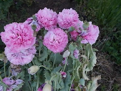 PINK FLUFFY POPPY seeds...Beautiful-Flower. Tall large plants with many flowers.