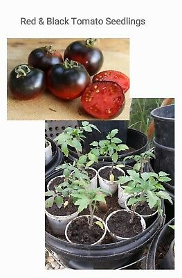 Red and Black Tomato Seedlings