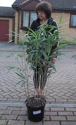 Pseudosasa japonica or Arrow bamboo/Metake large 7.5 litre specimen hardy (AGM)