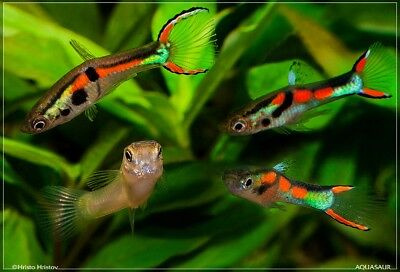 Tropical Guppy fish Some Endler guppies