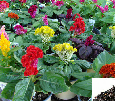 COCKSCOMB MIX - 400 SEEDS - Celosia argentea cristata - ANNUAL FLOWER #763#2
