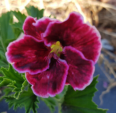 South American Bronze Regal Pelargonium x 1 Plant --------------------- Geranium