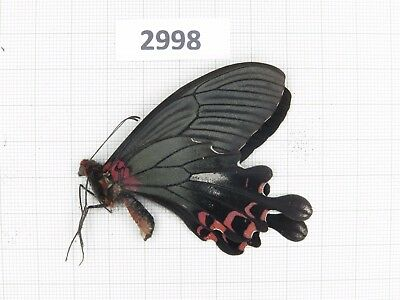 Butterfly. Papilio boots ssp? 1M. S Yunnan, Dali. Form 1. Rare offer. 2998.