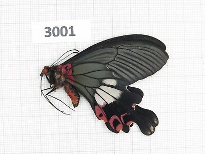 Butterfly. Papilio boots ssp? 1M. S Yunnan, Dali. Form 4. Rare offer. 3001.
