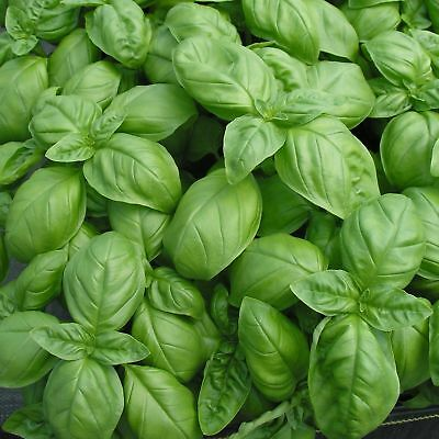 Basil Genovese - 20+ seeds - ORIGINALLY ITALIAN!