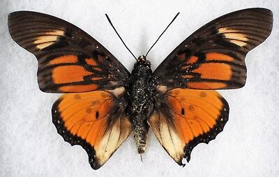 "Insect/Butterfly/ Charaxes acraeoides - Male 3.5"" A-"