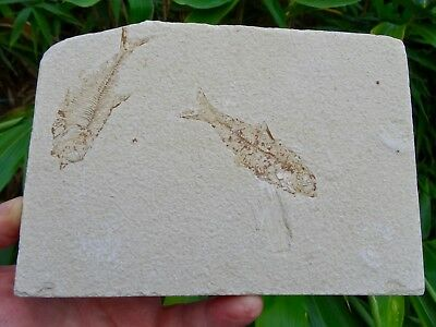 Fossil Fish: Knightia alta - Stunning Green River Double Display Specimen.