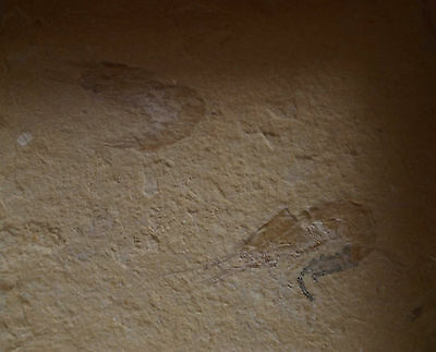 SUPERB PAIR of ANCIENT Shrimps Aeger Lebanensis from LEBANON CRETACEOUS DINO AGE