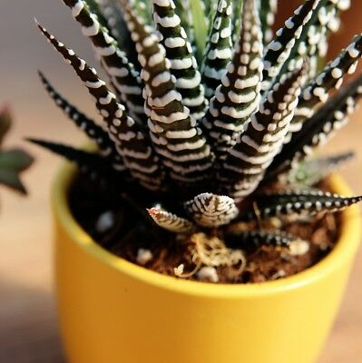 Haworthia fasciata 'Big Band'- Zebra