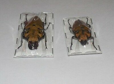 Trictenotoma Childreni Pair Brown Steampunk Beetles Real Insects