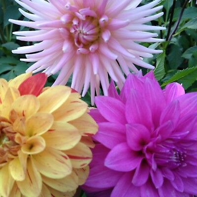 Dahlias, 2 Mixed Clumps, Lots More Flowers. Nymphae,Pompom, Cactus, Singles