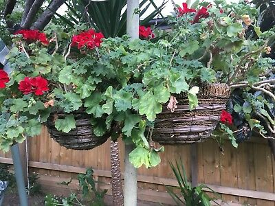 Lot of 5 X Hanging Baskets with Red Geranium Flower Plants.