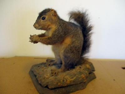 Vintage 1970 Grafton West Virginia Taxidermy Squirrel Sitting Holding A Nut