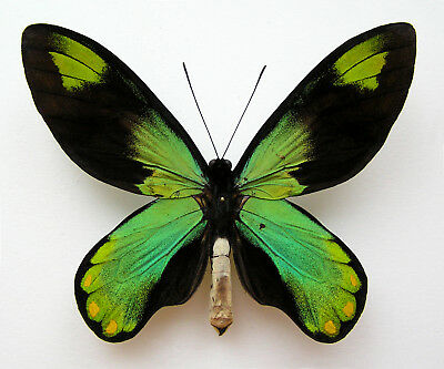 Ornithoptera Victoriae Victoriae Form Niclasi + Red Aberration On Verso!!! Wow!!