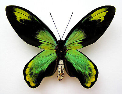 Fantastic Ornithoptera Victoriae Archeri. Extremely Rarity !!! Wingspan 125Mm