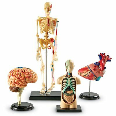 Human Skeleton Model Anatomy School Biology Anatomical Organs Brain Heart Body