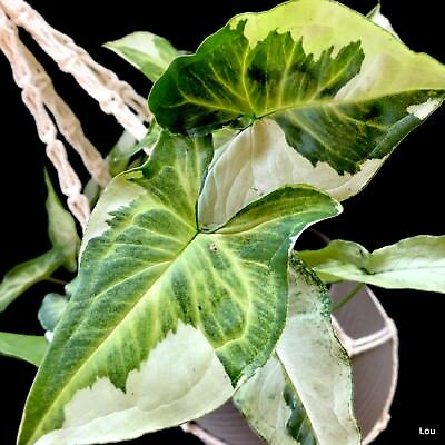 Syngonium Podophyllum~## Striking Variegation ##~Indoor~Ground Cover~One plant