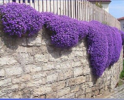 Pack of  250 Seeds  Cascade Purple Aubrieta Flower  Perennial Groud Cover