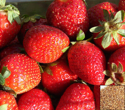 Strawberry Trailing Rainbow Treasure F1 - Fragaria x ananassa - 5 SEEDS F1#825#2