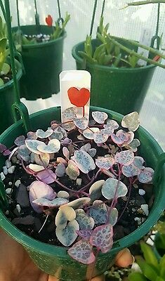 Variegated Chain of Hearts Ceropegia woodii 120mm RARE Succulents Succulent