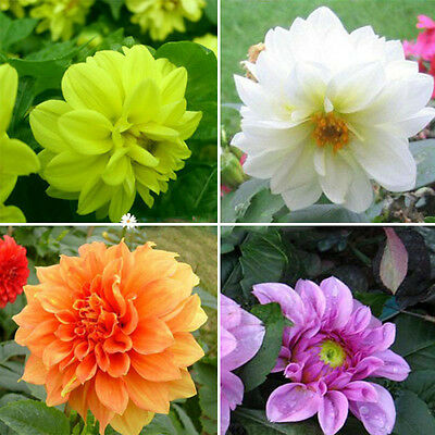 2 Colorful Dahlia Large Bloom Flower Bulbs Perennials Garden Plant Pot  New.