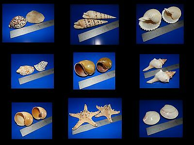 18 Large Sea Shells - Decorative, Art, Stunning, Coulourful, Very Lovely